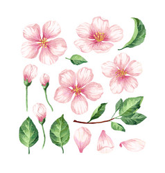 Set collection of apple flowers petals vector