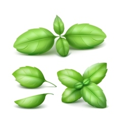 Set of Green Basil Leaves Isolated on Background vector image