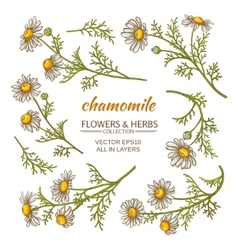 Chamomile flowers set vector