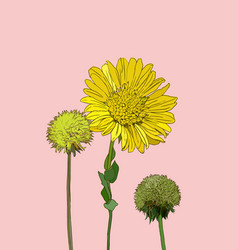 flowers calendula clover vector image