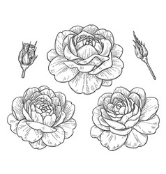 Hand drawn monochrome rose flowers and buds vector