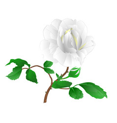 rose flower white twig with leaves and bud vector image
