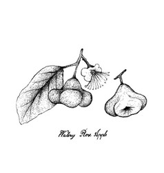 Hand drawn of watery rose apple on white backgroun vector