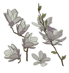 color drawing of a branch of magnolia with flowers vector image