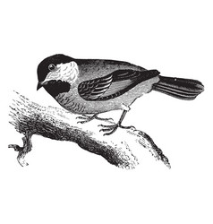 Common chickadee vintage vector