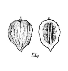 Hand drawn of etrog fruit on white background vector