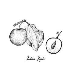 Hand drawn of indian jujube on white background vector