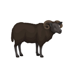 Flat icon of adult male sheep domestic vector