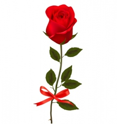 beauty red rose with bow vector image vector image