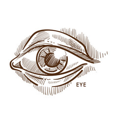 Eye pupil and iris eyelid and eyeball with lashes vector