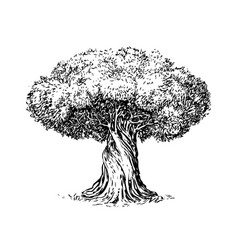 Olive tree old engraving ecology environment vector