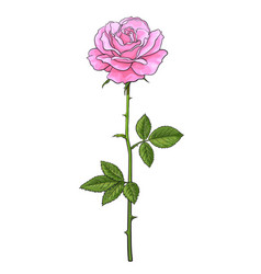 pink rose flower fully open with green leaves and vector image
