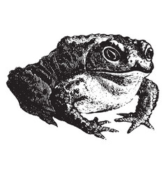 Common toad vintage vector