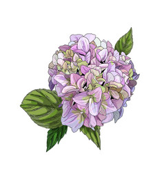realistic pinky green hydrangea flower with leaves vector image