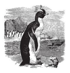 crested penguin vintage vector image