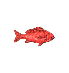 Australasian snapper swimming drawing vector
