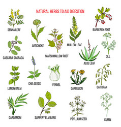 herbal remedies for aid digestion vector image