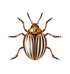 colorado beetle isolated on white vector image