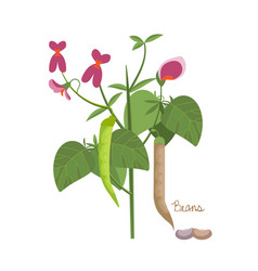 Concept of legumes plants with leaves seeds vector