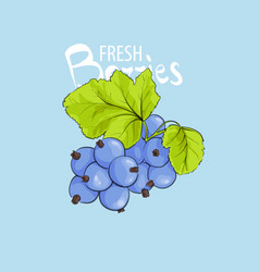 Fresh sweet currant vector