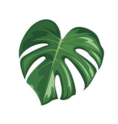monstera leaf realistic design isolated on white vector image