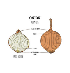 onion hand drawn set full and half cutout slice vector image