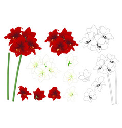 Red and white amaryllis outline vector