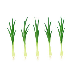 onion ripe green vegetable vector image