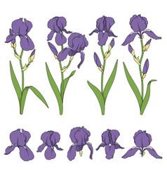 set color with purple iris flower vector image
