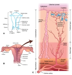 Uterus-detail-layers vector