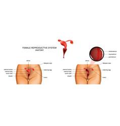 Female reproductive organs vector
