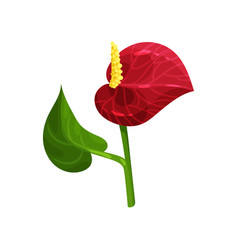 gorgeous tropical flower anthurium with red petal vector image
