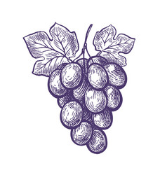 hand drawn bunch grapes fruit vineyard wine vector image