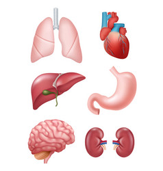human organs anatomical medical vector image