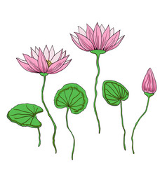 Adorable lotus flowers isolated on white vector