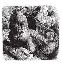 Molucca cockatoo vintage vector