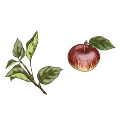 Red apple and branch with leaves isolated on vector