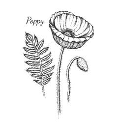 hand drawn poppy flower botany vector image