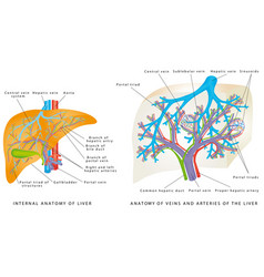 Liver circulatory system vector