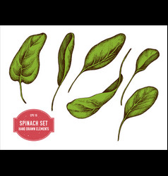 collection of hand drawn colored spinach vector image