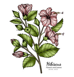 pink hibiscus flower and leaf drawing with line vector image