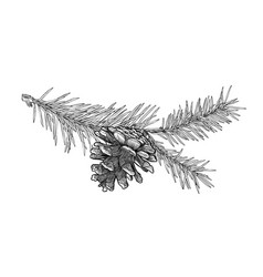 hand drawn fir tree branch with cone isolated on vector image