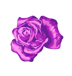 bright gentle beautiful purple rose bud isolated vector image