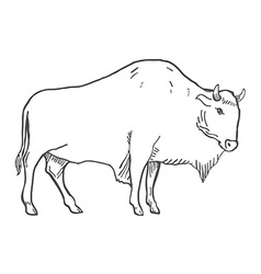 Hand Drawn Buffalo isolated on white vector image vector image