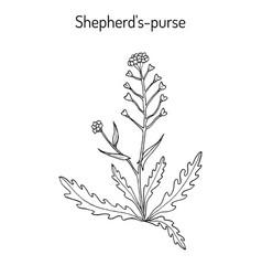 shepherd s purse capsella bursa-pastoris vector image