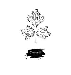 Coriander plant hand drawn vector image