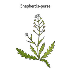 Shepherd s purse capsella bursa-pastoris vector