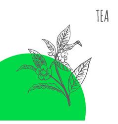 tea sketch botanical herb plant vector image