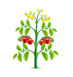 growing tomato plant isolated on white vector image vector image