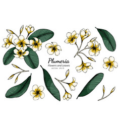 Set plumeria flower and leaf drawing with line vector